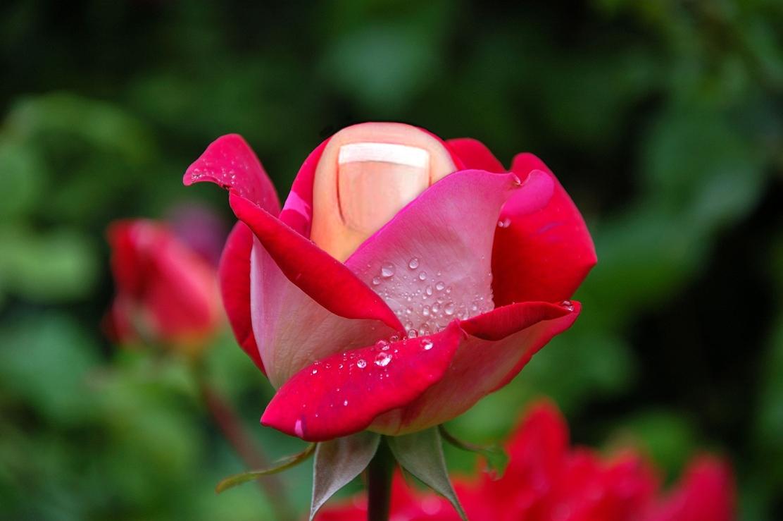 Toe Rose 1_WP